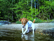 Jack Russel Terrier playing in water Stock Photo