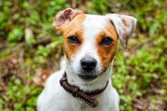 Jack Russel Terrier-Porträt stockbilder