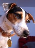 Jack Russel terrier portrait. Portrait of young Jack Russel terrier Stock Photos