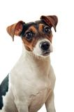 Jack russel terrier portrait Stock Photo