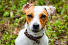 Jack Russel Terrier portrait Stock Images