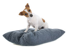 Jack russel terrier. Portrait of a purebred jack russel terrier in studio Royalty Free Stock Photography