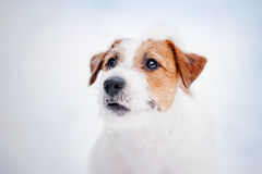 Jack russel terrier portrait in winter Stock Images