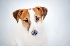 Jack russel terrier portrait in winter Royalty Free Stock Photo