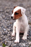 Jack russel terrier puppie Stock Images