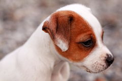 Jack russel terrier puppie Royalty Free Stock Photos