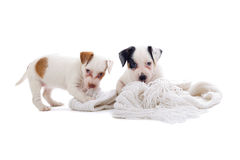 Jack russel terrier puppies Stock Photos