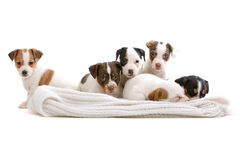 Jack russel terrier puppies Royalty Free Stock Photo