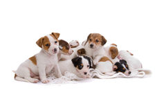 Jack russel terrier puppies Royalty Free Stock Photography