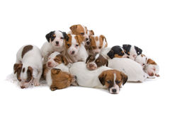 Jack russel terrier puppies. Isolated on a white background royalty free stock images