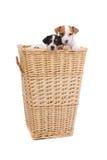 Jack russel terrier puppies Stock Image