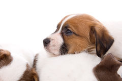 Jack russel terrier puppies Stock Image