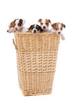 Jack russel terrier puppies Stock Images