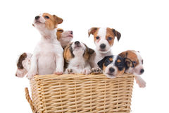 Jack russel terrier puppies. In a basket isolated on a white background royalty free stock images