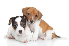 Free Jack Russel Terrier Puppies Royalty Free Stock Images - 35240489
