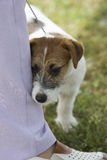 Jack Russel Terrier puppy. Hiding behind leg during a dog show Stock Photography