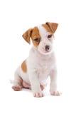Jack Russel Terrier puppy Stock Image