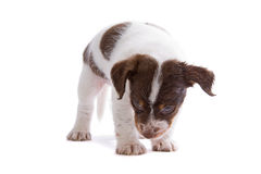 Jack Russel Terrier puppy Royalty Free Stock Photo