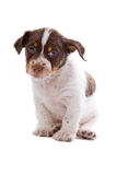 Jack Russel Terrier puppy Royalty Free Stock Image