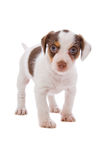 Jack Russel Terrier puppy Royalty Free Stock Photos
