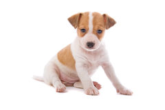 Jack Russel Terrier puppy Stock Photography