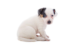 Jack Russel Terrier puppy Stock Photo