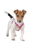 Jack russel terrier puppy. Jack russel terrier looking serious, isolated on a white background Stock Image