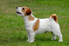 Jack Russel Terrier. Puppy of Jack Russel Terrier Stock Image