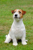Jack Russel Terrier. Puppy of Jack Russel Terrier Royalty Free Stock Photography
