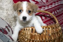 Jack russel terrier puppy. In a basket Royalty Free Stock Images