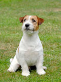 Jack Russel Terrier puppy. In the garden Stock Image