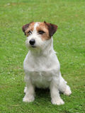 Jack Russel Terrier puppy. On a green grass lawn Stock Image