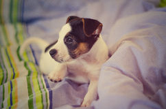Jack russel terrier puppy is lying on the bed Royalty Free Stock Photography