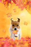 Jack Russel Terrier puppy playing in autumn Royalty Free Stock Photos
