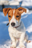 Jack Russel terrier puppy Stock Images