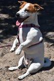 Jack Russel Terrier que se sienta en sus piernas traseras Fotos de archivo libres de regalías