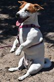 Jack Russel Terrier que senta-se em seus pés traseiros Fotos de Stock Royalty Free