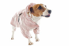 Jack russel terrier and raincoat Stock Image