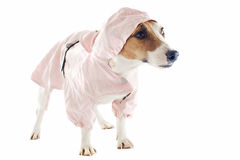 Jack russel terrier and raincoat Stock Photography