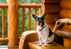 Jack Russel Terrier Relaxing At Log Cabin Stock Images