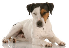 Jack russel terrier resting Royalty Free Stock Photography