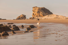 Jack russel terrier running on the Pacific beach Royalty Free Stock Images