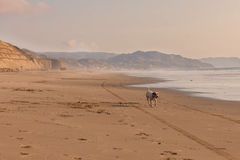Jack russel terrier running on the Pacific beach Royalty Free Stock Photos