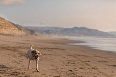 Parson Russell Terrier Running With Speed Stock Images