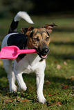 Jack Russel Terrier with shovel Royalty Free Stock Images