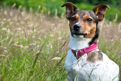 Jack Russel Terrier sitting in High Grass. Jack Russel Terrier calmly sitting in High Grass and Staring Stock Photos
