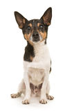 Jack Russel Terrier sitting Royalty Free Stock Photo
