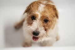 Hard haired pedigreed Jack Russell Terrier on white background isolated stock photos