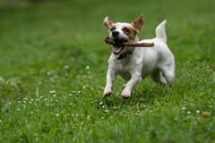 Jack Russel Terrier in the spring garden. Selective focus Royalty Free Stock Photography
