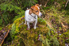 Jack russel terrier on a stubb. A JRT sitting on a stubb with moss on it Royalty Free Stock Photos